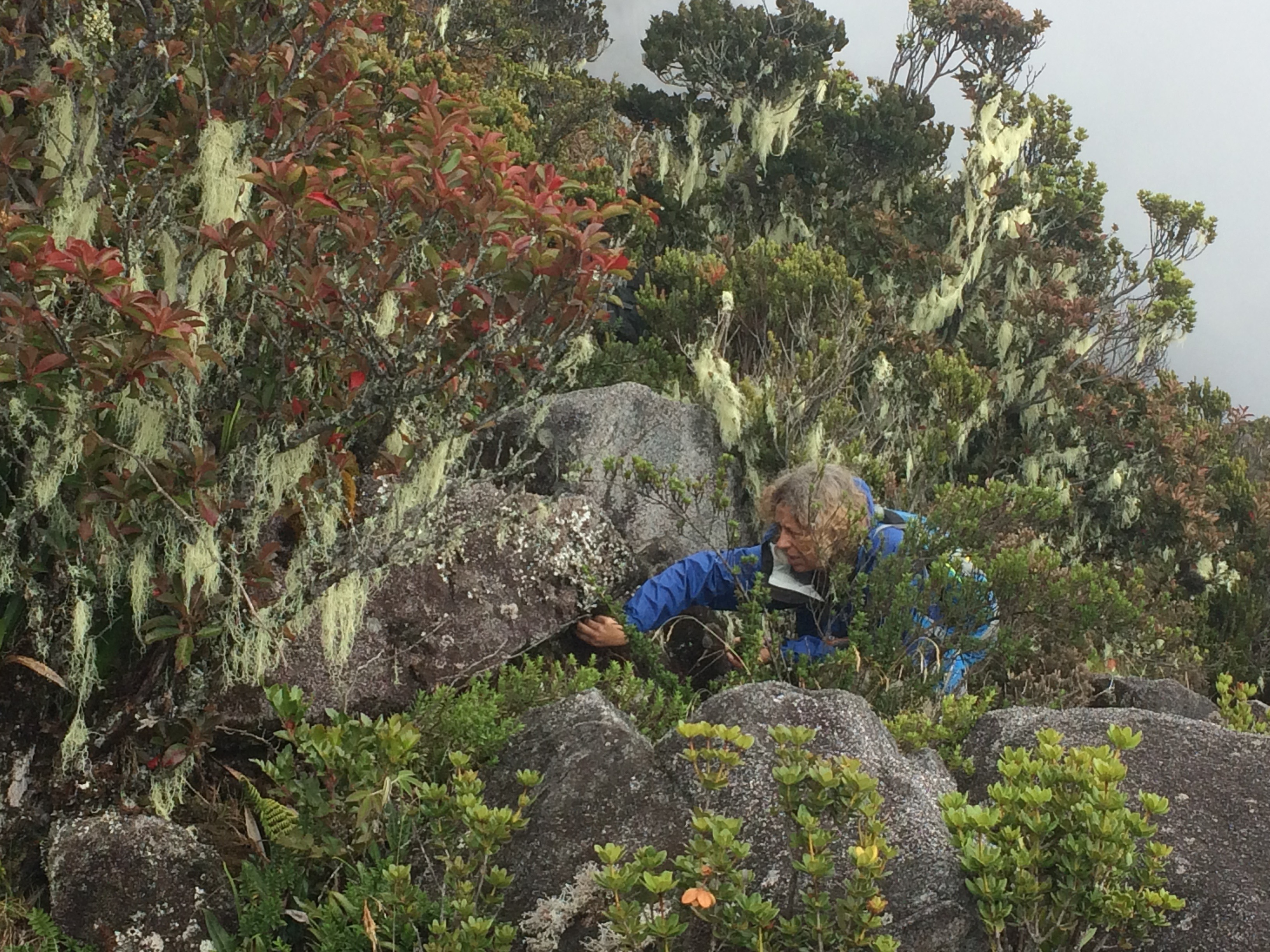 Collecting lichen samples on Kinabalu Mountain (Betsy).